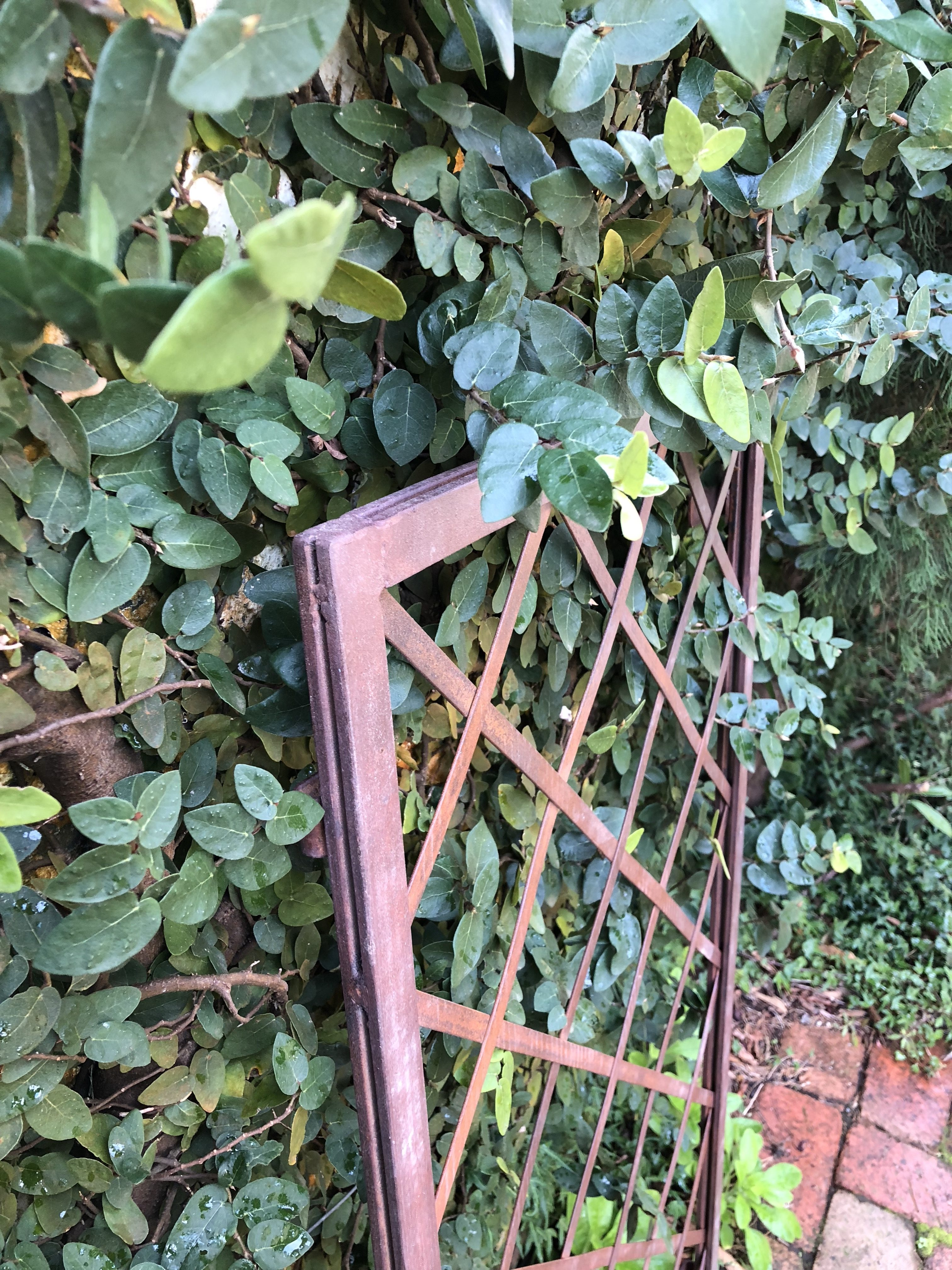 wrought iron trellis and creeping fig