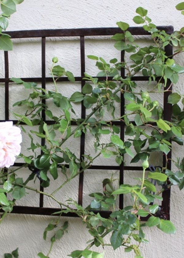Abraham Derby English Rose on metal trellis